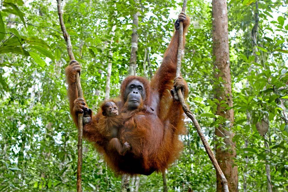 La jungle du Sarawak (Bornéo) , L'orang-outan , Malaisie