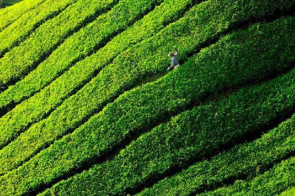 BOH tea plantation , Cameron Highlands, Malaysia , Malaysia