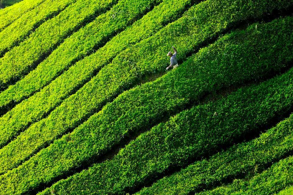 Plantación de té BOH , Cameron Highlands, Malasia , Malasia