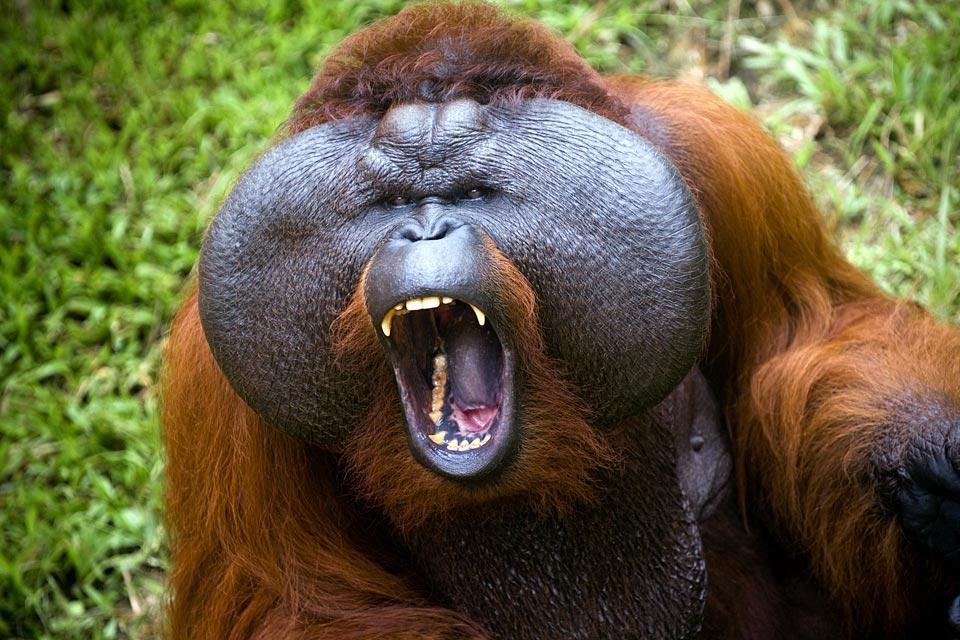 Les orangs-outans , Les espèces d'orangs-outans , Malaisie