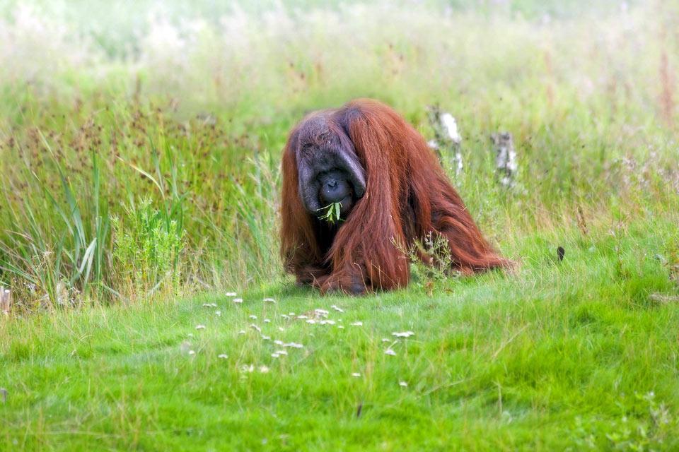 Les orangs-outans , La disparition des Pongo pygmaeus , Malaisie