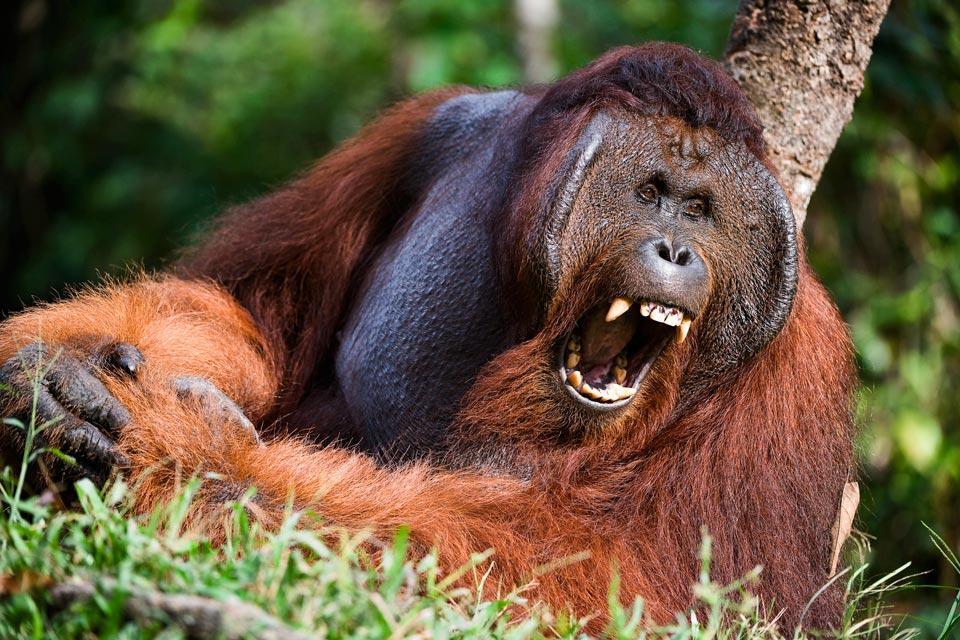 Les orangs-outans , L'extinction des Pongo abelii , Malaisie