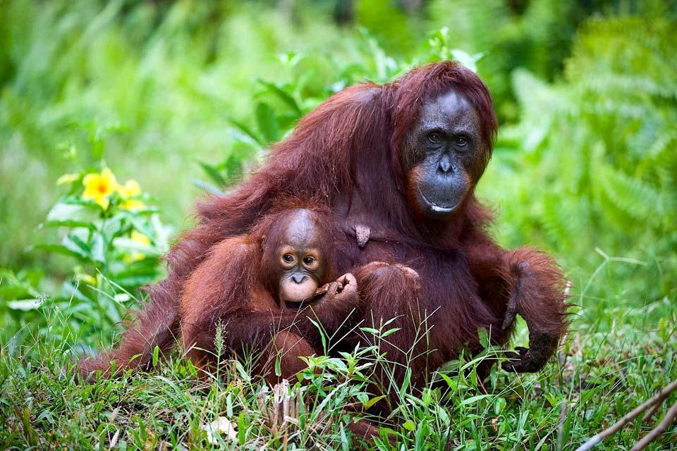 Les orangs-outans , La reproduction des orangs-outans , Malaisie