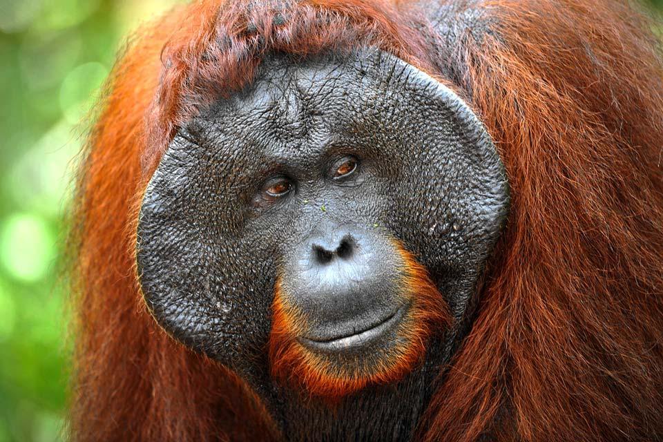 Les orangs-outans , L'espérance de vie d'un orang-outan , Malaisie