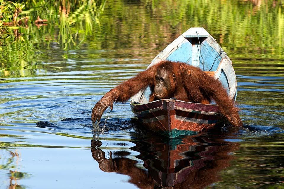 Les orangs-outans , Les orangs-outans de Malaisie , Malaisie