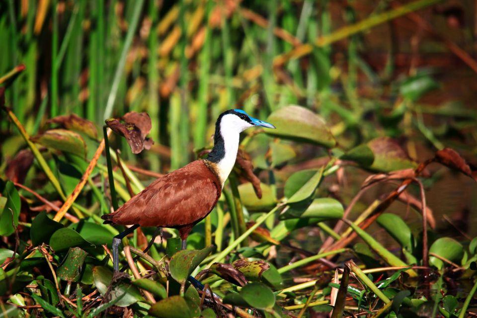 Les paysages, Afrique Malawi Parc National Liwonde oiseau jacana faune animal.