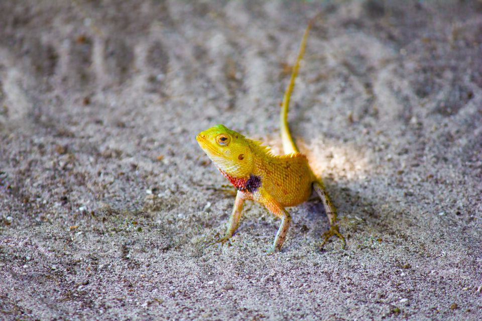 Cameleon, Maldives, Land wildlife, The fauna and flora, The Maldives