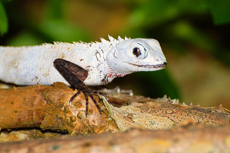 White Lizard, Maldives, Land wildlife, The fauna and flora, The Maldives