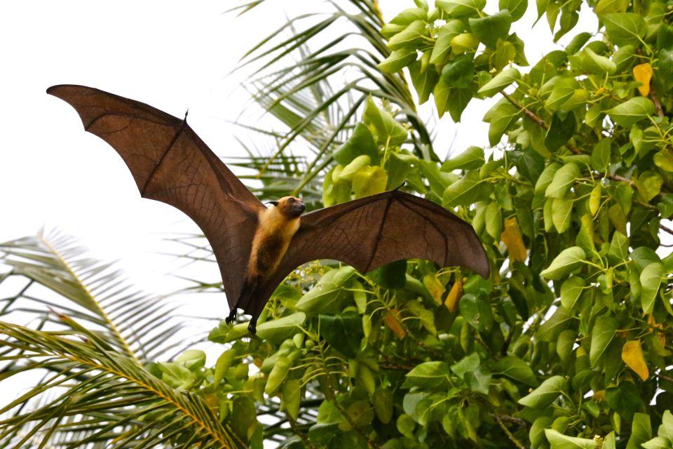Pipistrello diurno (volpe volante), La fauna terrestre, La fauna e la flora, Maldive