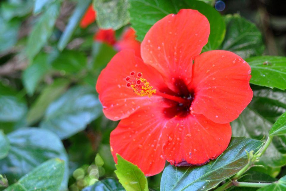 Ibisco rosso, La flora, La fauna e la flora, Maldive
