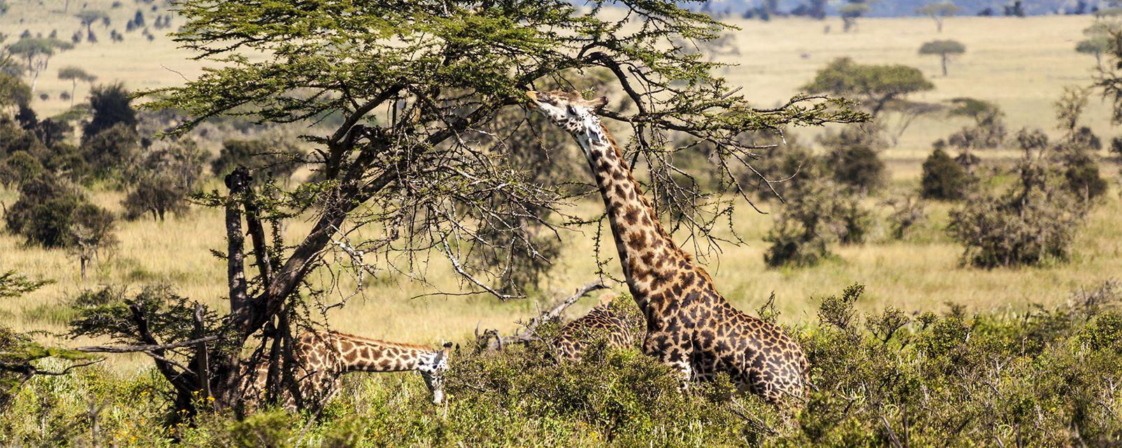 La faune et la flore, Mali afrique parc réserve baoulé savane faune mammifère animal girafe