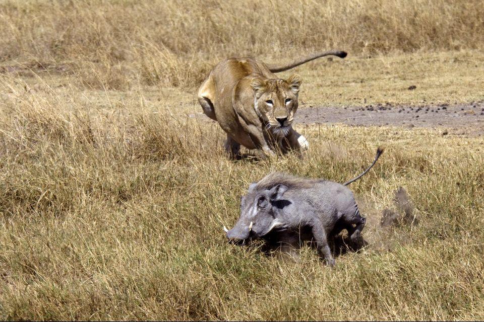 La faune et la flore, Bafing reserve mali afrique faune animal nature phacochère pachiderme lion lionne fauve chasse prédation.
