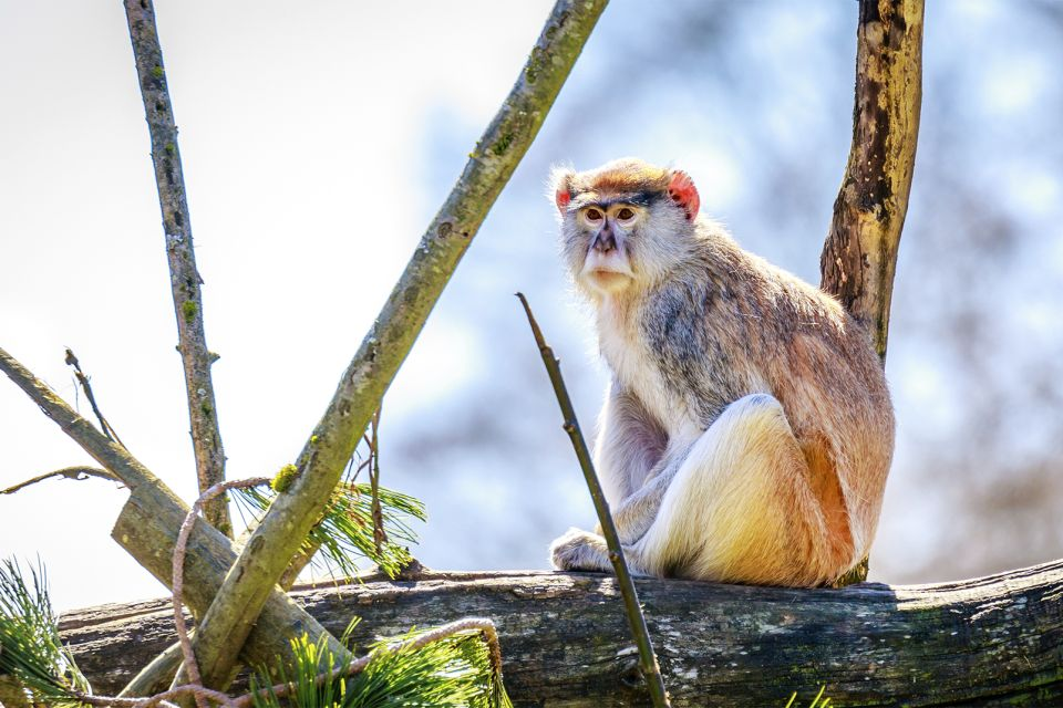 La faune et la flore, Mali afrique parc réserve baoulé savane faune mammifère animal singe primate pata singe rouge