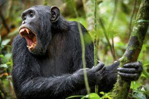 La faune et la flore, Mali afrique parc réserve baoulé savane faune mammifère animal singe primate chimpanzé