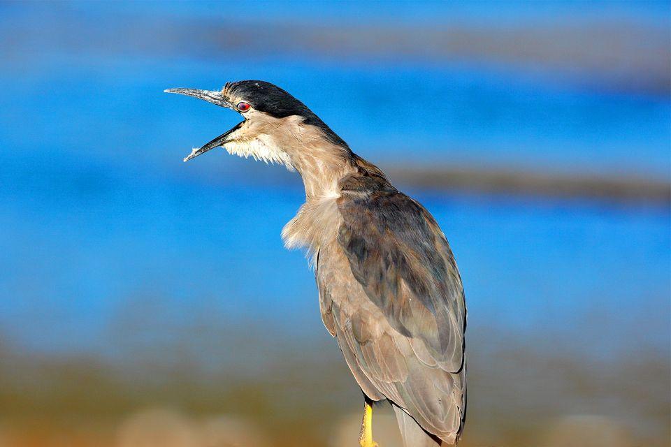 Le bihoreau gris, La réserve de Ghadira, La faune, Malte