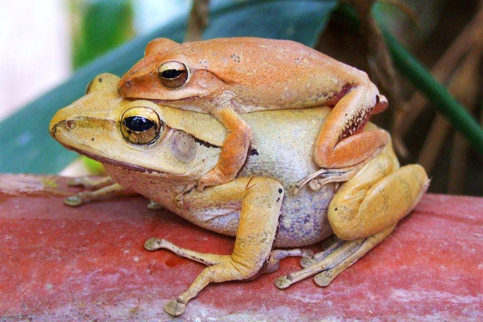 La grenouille maltaise, La réserve de Ghadira, La faune, Malte