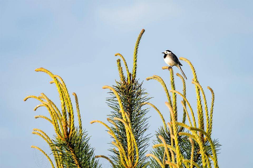 La bergeronnette printanière, La réserve de Ghadira, La faune, Malte