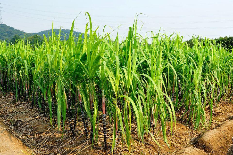 La canne à sucre , Les îles de Guadeloupe