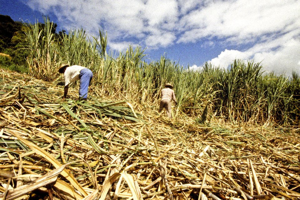Le Rhum , Champ de canne à sucre , Martinique