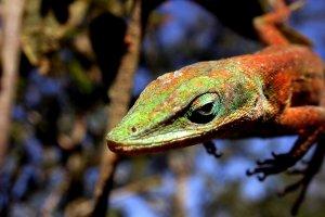 Les oiseaux, les reptiles , Le colibri de Martinique , Martinique