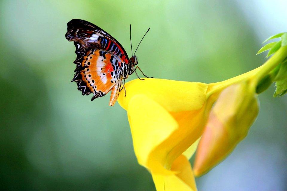 Antilles, caraibes, ile, martinique, outre-mer, dom-tom, amerique, faune, animal, papillon, insecte, fleur