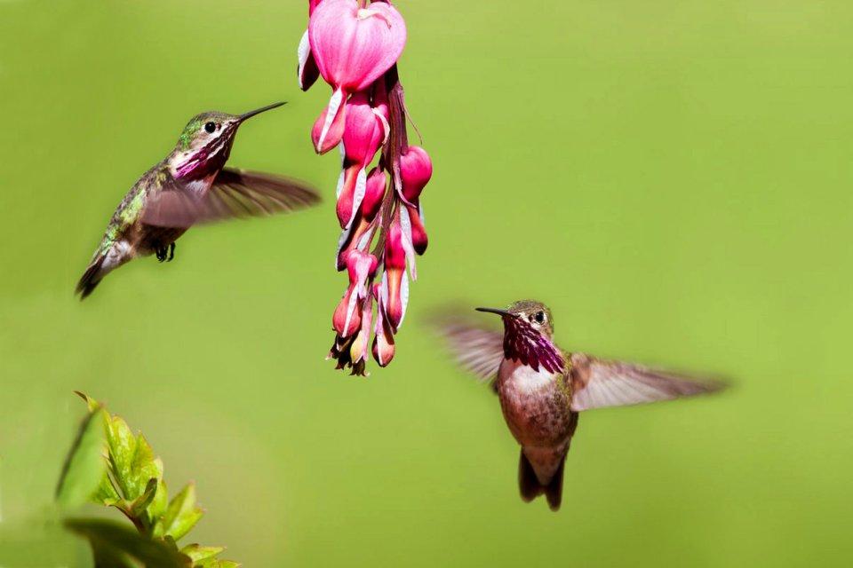 La faune, Antilles, caraibes, ile, martinique, outre-mer, dom-tom, amerique, faune, animal, oiseau, colibri