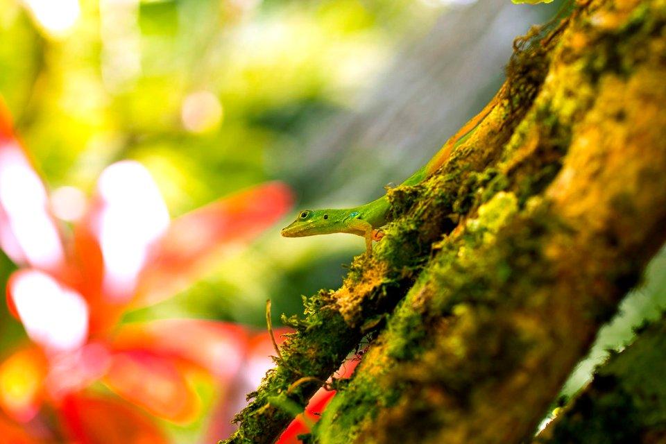 La flore, Antilles, caraibes, ile, martinique, outre-mer, dom-tom, amerique, flore, vegetation, arbre, l?zard, balata