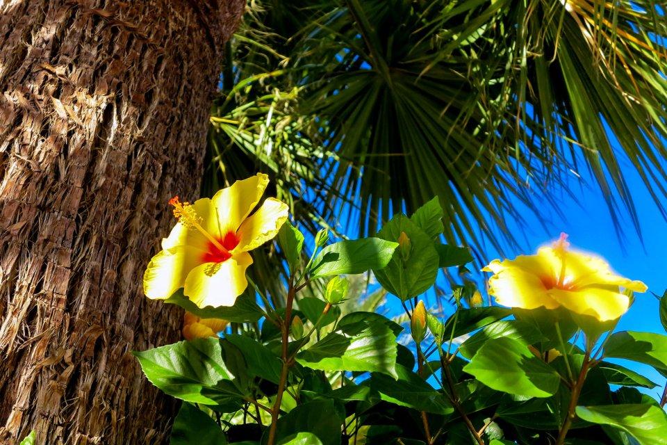 La flore, Antilles, caraibes, ile, martinique, outre-mer, dom-tom, amerique, flore, vegetation, fleur, hibiscus