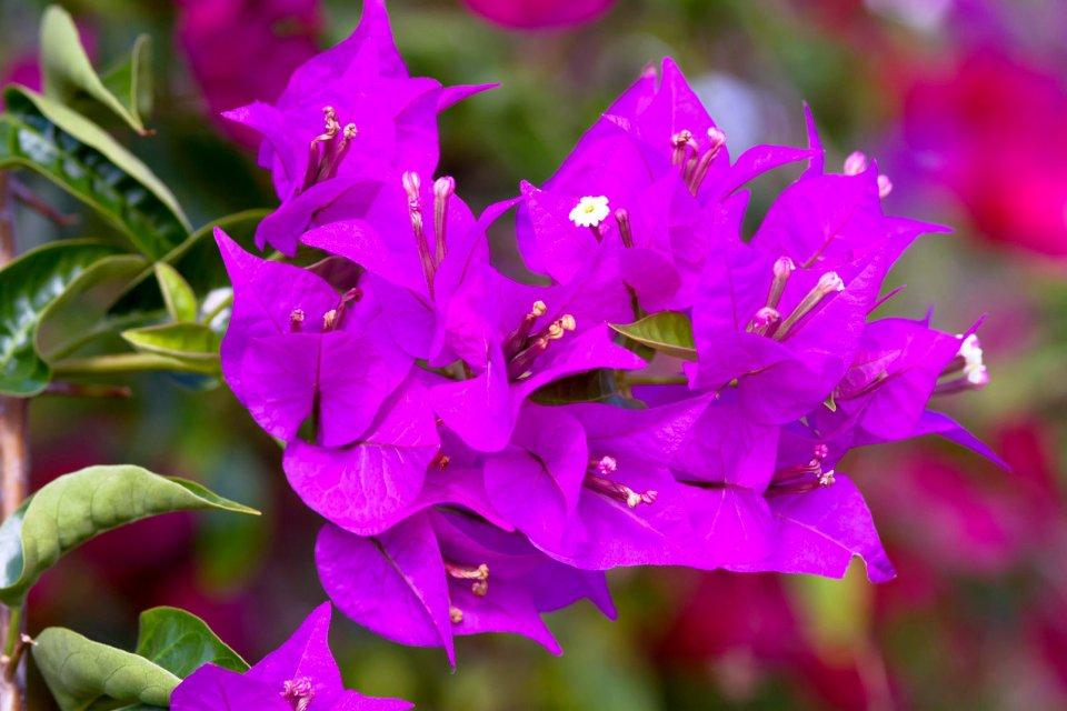 La flore, Antilles, caraibes, ile, martinique, outre-mer, dom-tom, amerique, flore, vegetation, fleur, bougainvilliers