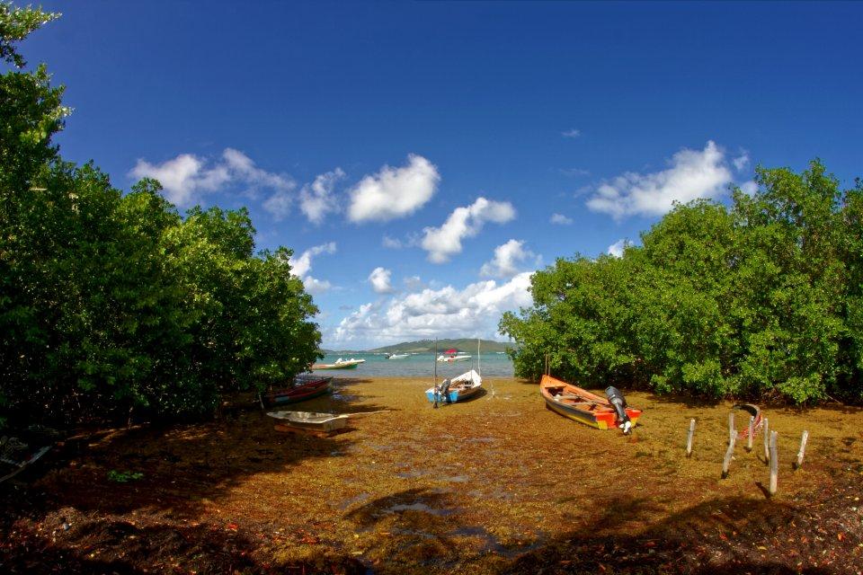 La mangrove , La mangrove en Martinique , Martinique