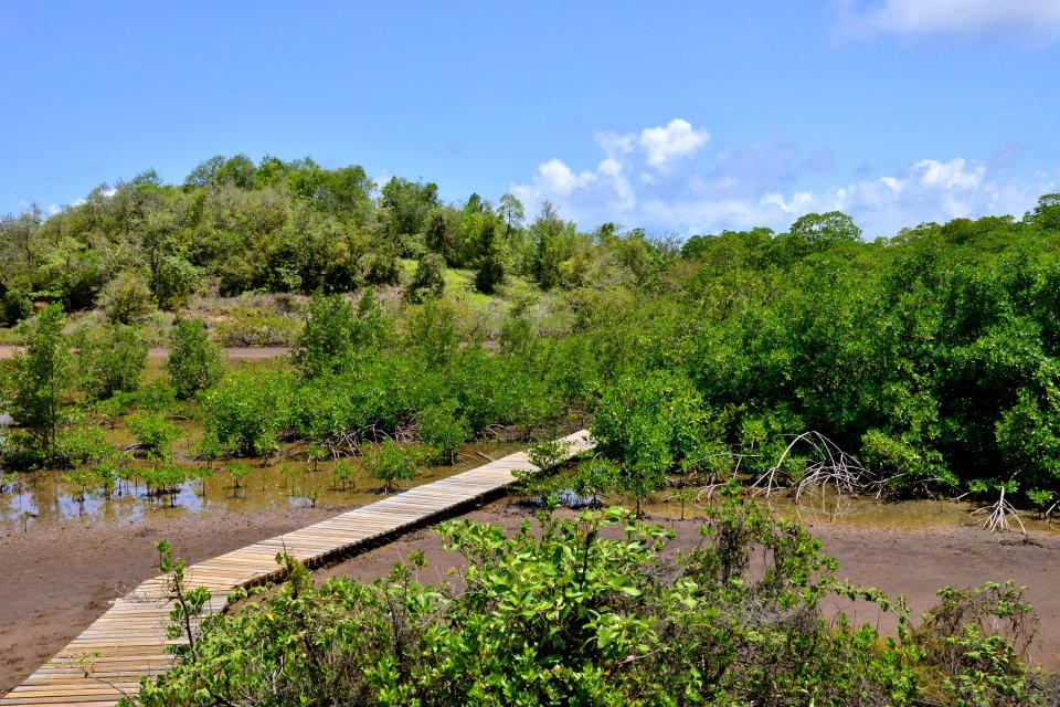 La mangrove , Un écosystème unique en Martinique , Martinique