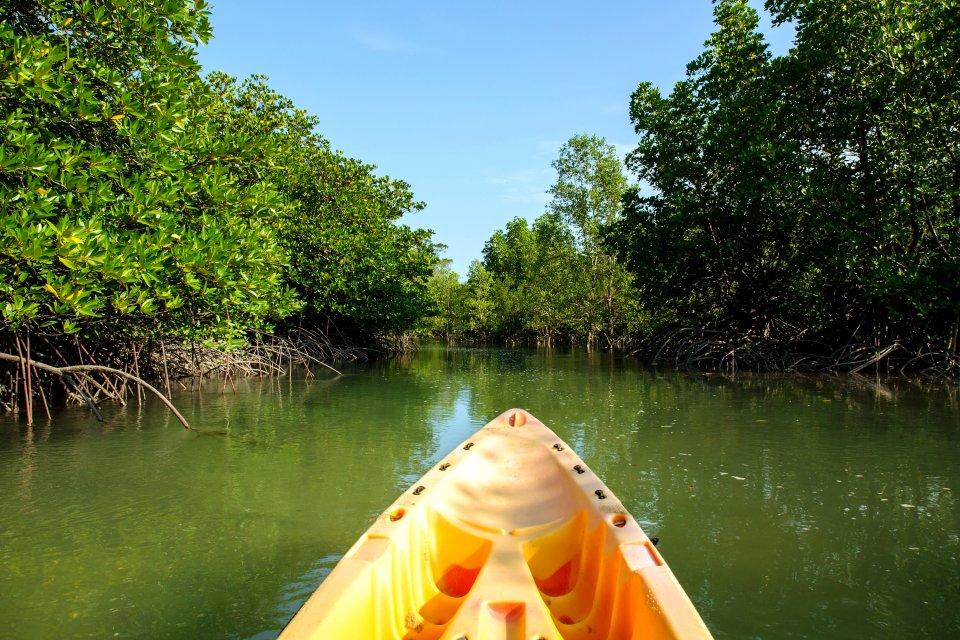 La mangrove , Excursions dans la mangrove , Martinique
