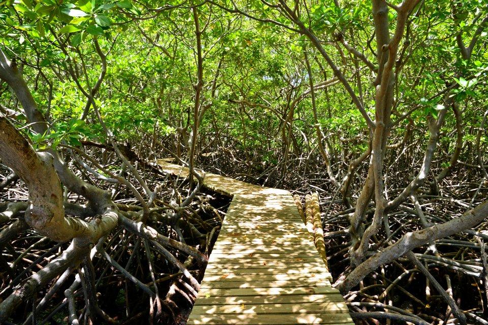 La mangrove , Les palétuviers de Martinique , Martinique