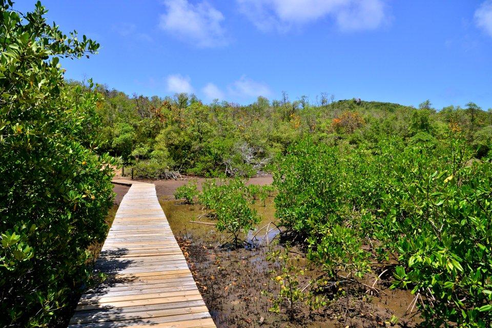 La mangrove , Découvrir la mangrove , Martinique
