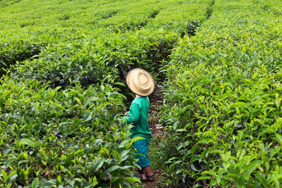 Tea leaf picking, Mauritius, Tea plantations, Landscapes, Mauritius