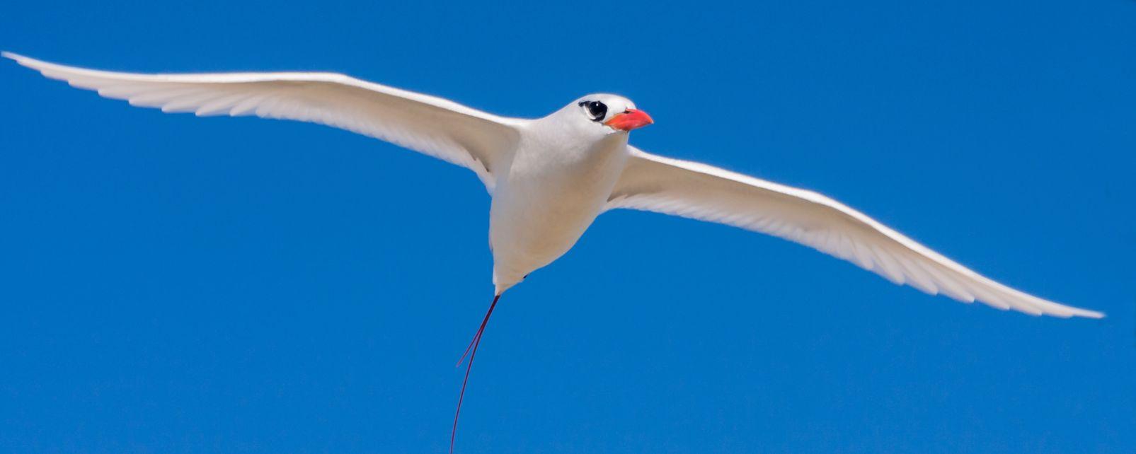 La fauna terrestre, Las aves, La fauna, Isla Mauricio