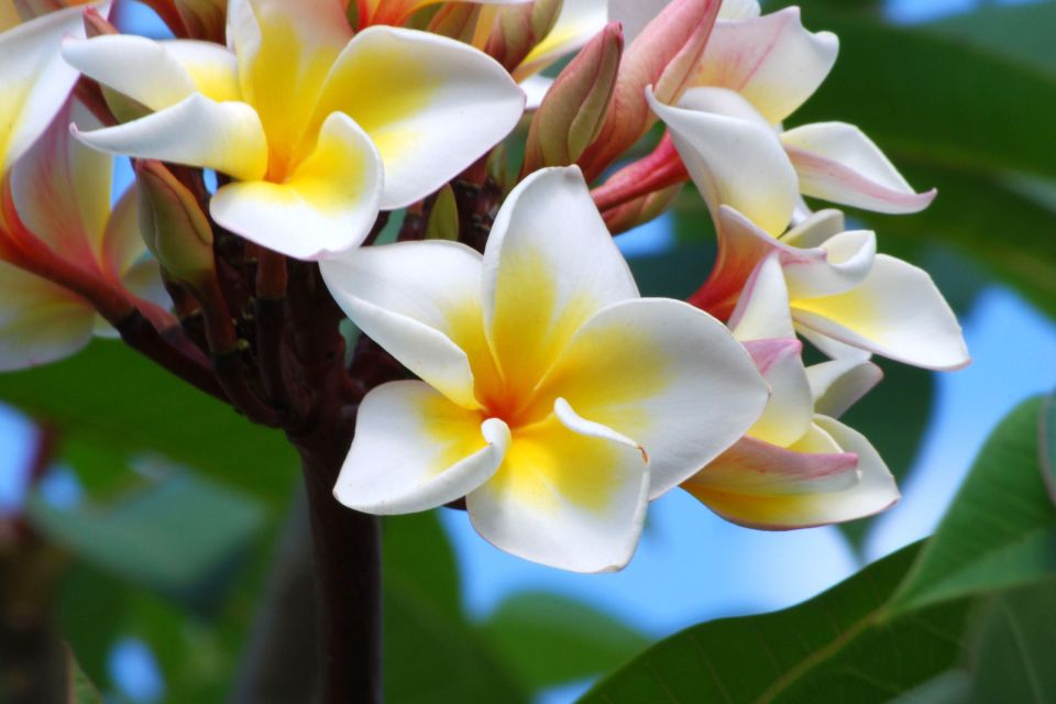 I fiori di tiarè, Gli anturi, La flora, Isola Mauritius