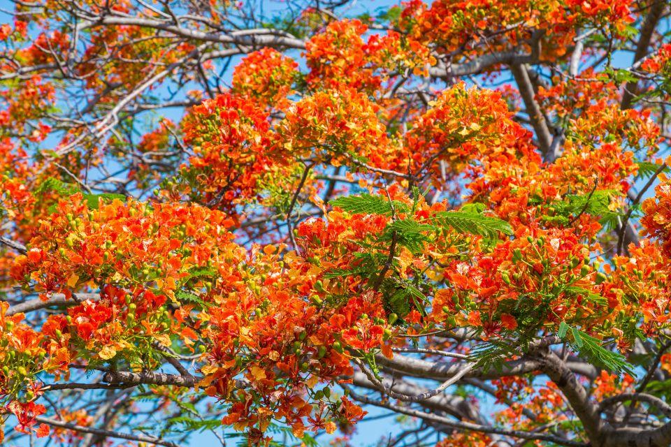 Fiori tropicali, Gli anturi, La flora, Isola Mauritius