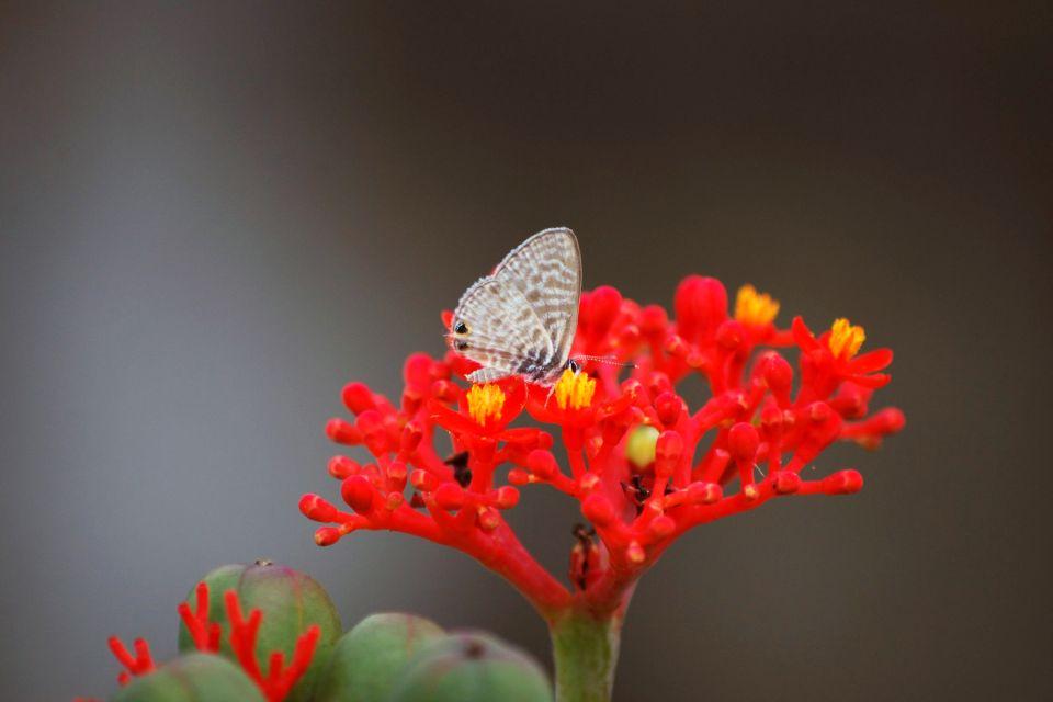 Il frangipane rosa, Gli anturi, La flora, Isola Mauritius