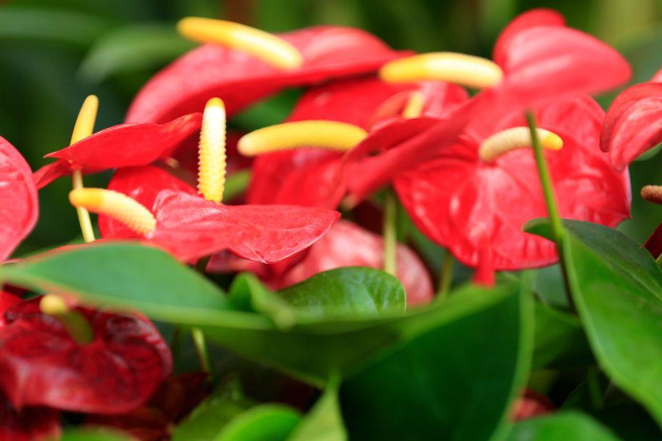 I fiori di Mauritius, Gli anturi, La flora, Isola Mauritius