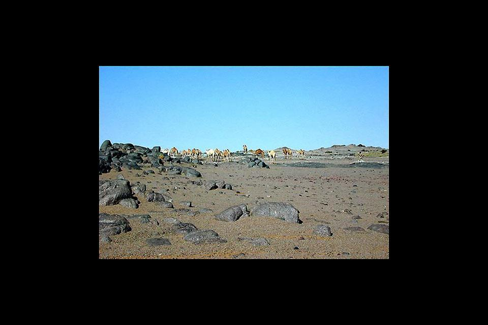 Wildlife , The dromedary, Mauritania , Mauritania