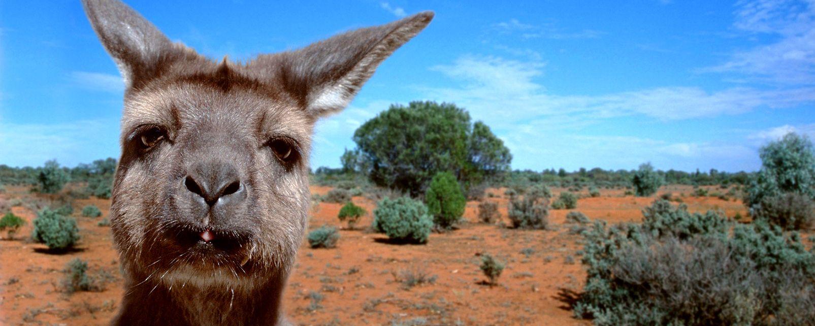 Los marsupiales, Los marsupios, La fauna, Australia