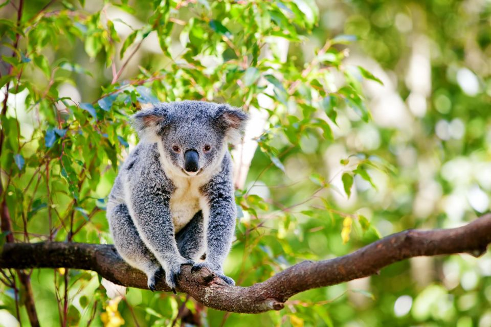 La faune, Océanie, oceanie, australie, animal, faune, marsupial, marsupiaux, koala