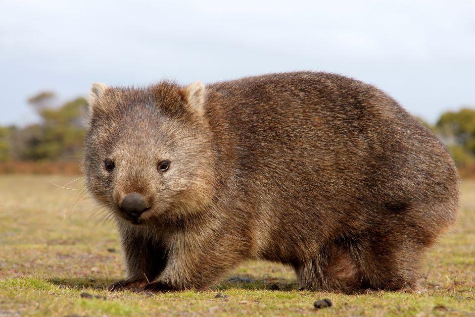 La faune, Océanie, oceanie, australie, animal, faune, marsupial, marsupiaux, wombat