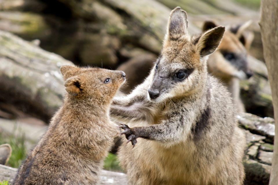 La faune, Océanie, oceanie, australie, animal, faune, marsupial, marsupiaux, quokka, wallaby