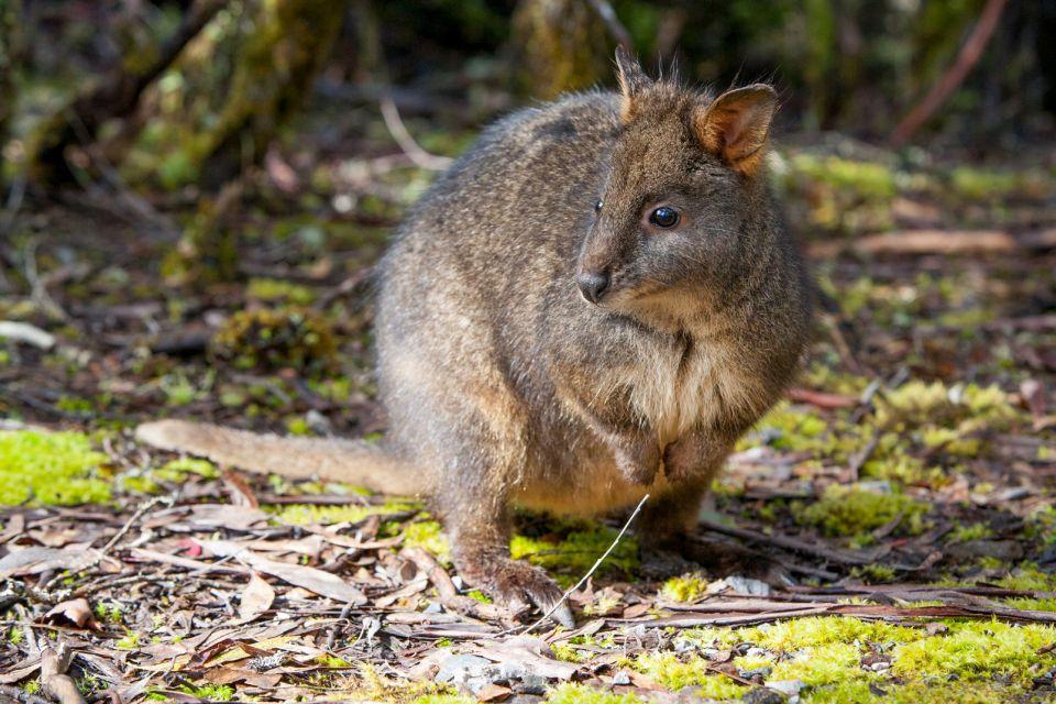 La faune, Océanie, oceanie, australie, animal, faune, marsupial, marsupiaux, pademelon