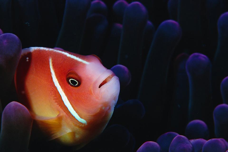 La vie sous-marine , Le poisson clown , Australie