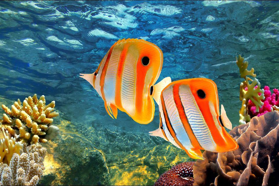 La vie sous-marine , Le poisson-papillon , Australie