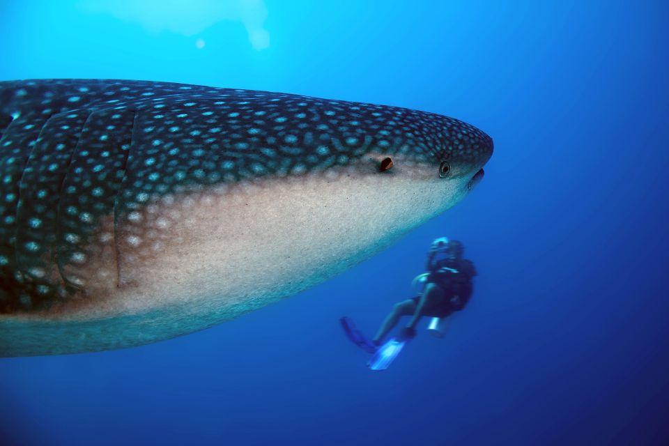 La faune et la flore, requin-baleine, requin, poisson, mexique, basse-californie, amérique