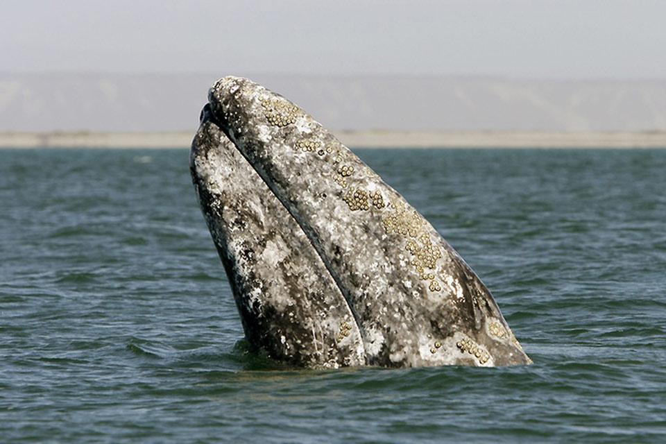 Le balene grigie, i cervi reali della sierra, gli avvoltoi del deserto e i cactus. , Le balena delle Bassa California , Messico